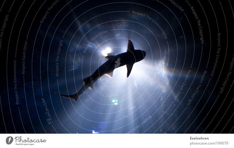 ... blau Wasser weiß ruhig Tier dunkel schwarz Schwimmen & Baden Kraft Wildtier ästhetisch bedrohlich tauchen Zoo Aquarium Haifisch