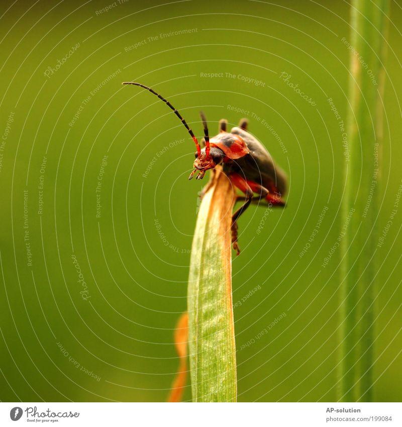 Käfer/Weichkäfer *2 Pflanze Tier Frühling Sommer Gras Blatt Garten Wiese Nutztier Tiergesicht Flügel 1 festhalten hocken krabbeln lachen Blick klein lustig nah