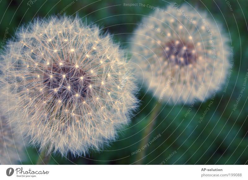 Pusteblume Natur schön weiß Blume blau Pflanze Wiese Blüte Frühling elegant frei ästhetisch weich violett dünn Vergänglichkeit
