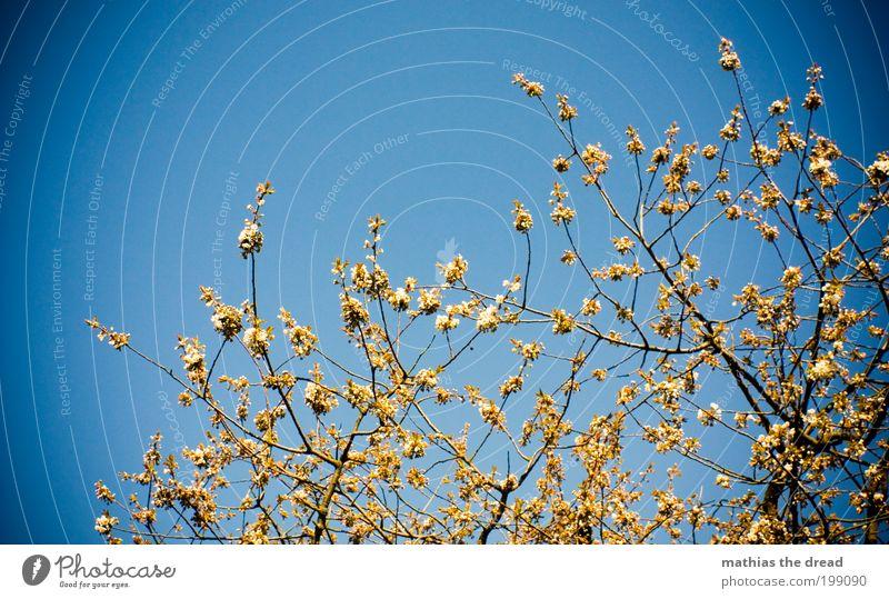 KNOSPEN Umwelt Natur Landschaft Pflanze Wolkenloser Himmel Frühling Schönes Wetter Baum Blüte Grünpflanze Park Blühend Wachstum Duft schön blau Klima Leben