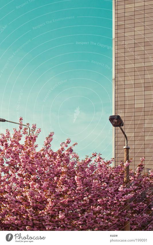 Tageslicht Himmel Natur blau Pflanze Baum Umwelt Wand Frühling Blüte rosa Fassade Wachstum ästhetisch Sträucher Schönes Wetter Wandel & Veränderung