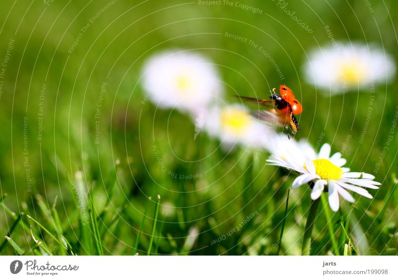 ...fliegen Natur Frühling Schönes Wetter Wiese Tier Käfer 1 Lebensfreude jarts Marienkäfer Farbfoto Außenaufnahme Nahaufnahme Detailaufnahme Menschenleer