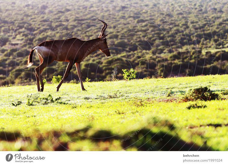 hartebeeste Natur Ferien & Urlaub & Reisen Pflanze Landschaft Tier Ferne Gras außergewöhnlich Freiheit Tourismus Ausflug Wildtier Sträucher laufen fantastisch