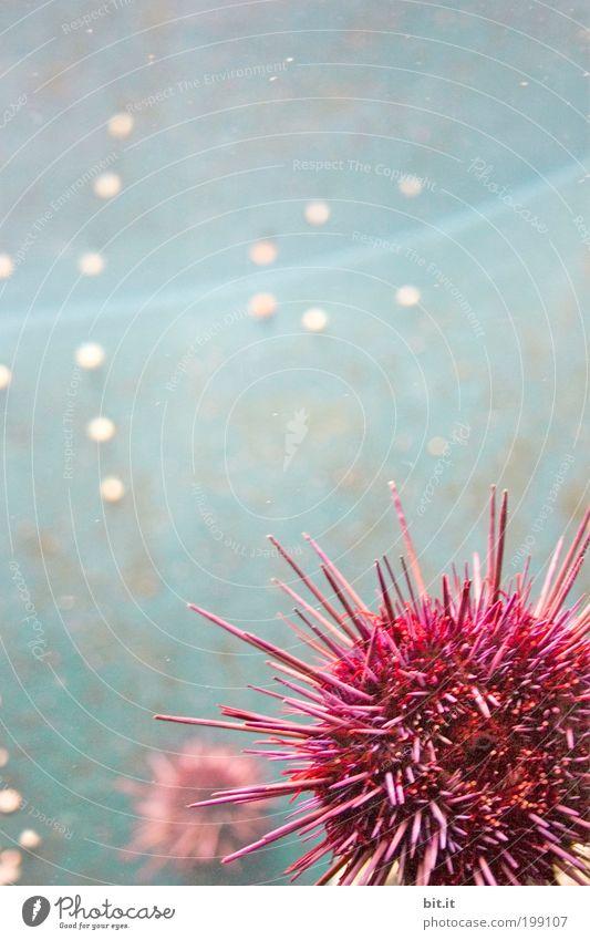 Zoobesuch in Bit.anien Natur Wasser Meer blau Tier rosa rund liegen Schutz Unterwasseraufnahme Punkt Spitze Kugel hängen