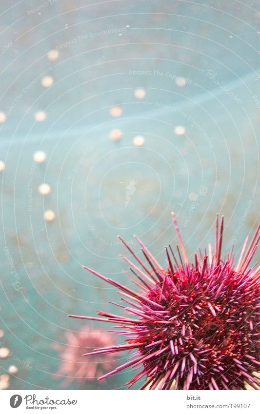 Zoobesuch in Bit.anien Natur Wasser Meer Tier Aquarium Seeigel Kugel hängen liegen exotisch rund Spitze stachelig blau rosa Punkt Stachel Meeresfrüchte