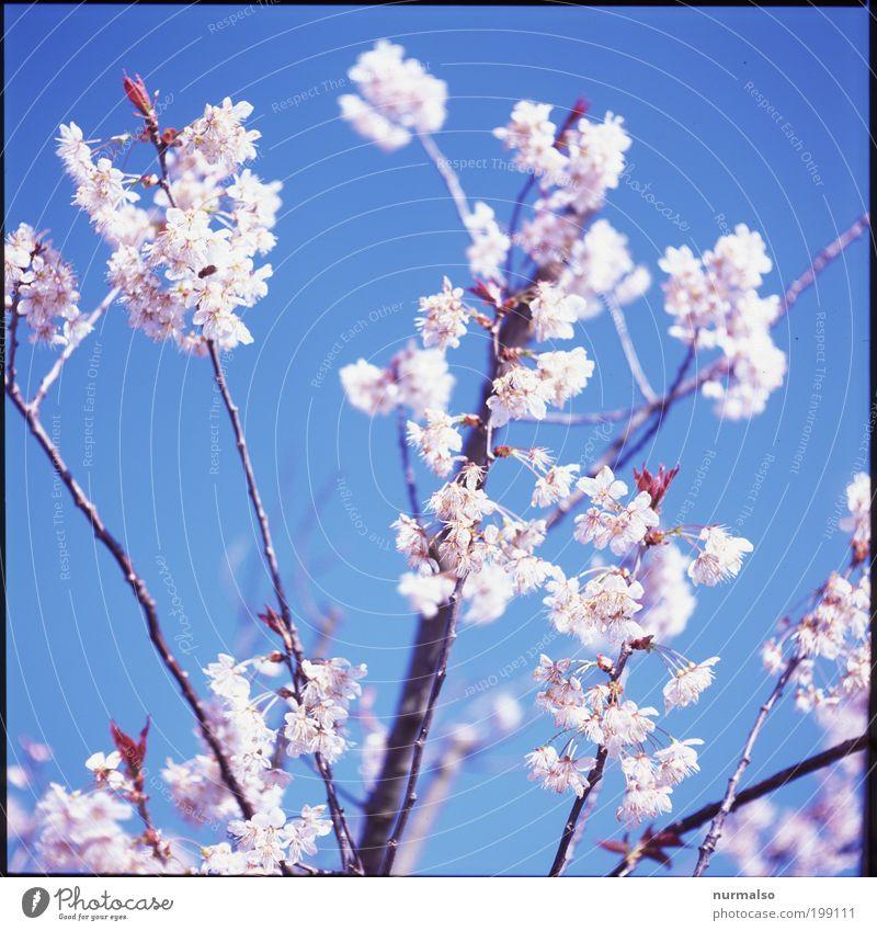 Traumblüte Lifestyle Reichtum schön Traumhaus Garten Umwelt Natur Landschaft Pflanze Tier Wolkenloser Himmel Sonne Frühling Klima Klimawandel Schönes Wetter