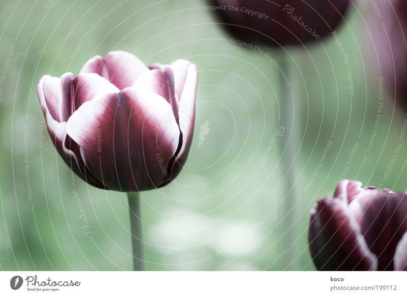In meinem Garten schön Natur Pflanze Frühling Blume Tulpe Blüte Blühend Wachstum ästhetisch Duft grün schwarz violett Gedeckte Farben Außenaufnahme
