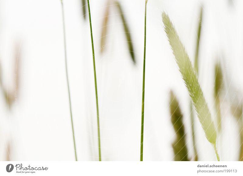 Gras eben weiß grün Pflanze Wiese hell Makroaufnahme