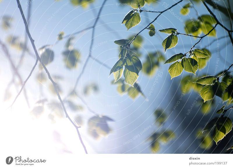 Gegen das Licht Umwelt Natur Pflanze Himmel Wolkenloser Himmel Sonne Sonnenlicht Frühling Klima Schönes Wetter Baum Blatt Ast Zweig Blattadern Garten Park