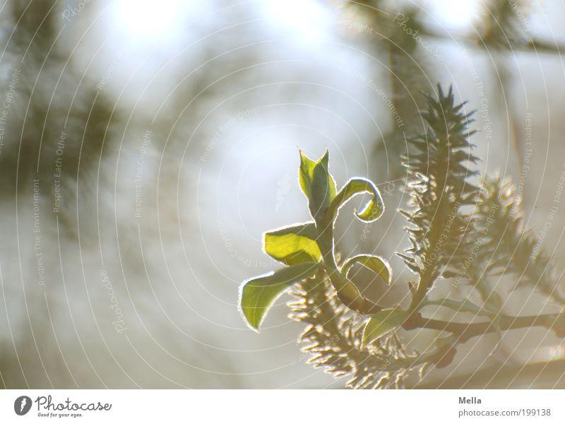 Der jüngste Spross Umwelt Natur Pflanze Frühling Baum Blatt leuchten Wachstum hell klein natürlich Stimmung Romantik Leben Zeit Jungpflanze sprießen Farbfoto