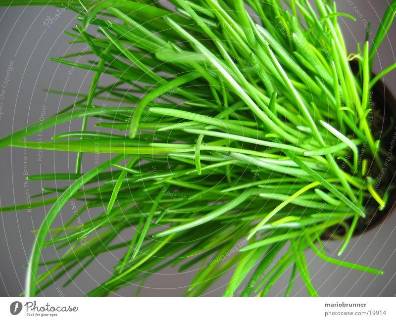schnittlauch_01 Schnittlauch Kräuter & Gewürze Topf grün Gesundheit Porree