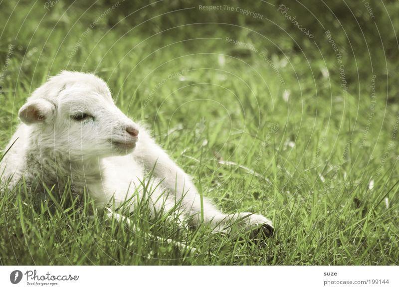 Osterlamm Natur grün weiß Tier Tierjunges Wiese Gras klein liegen träumen authentisch niedlich tierisch Tiergesicht Schaf Nutztier