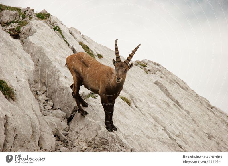 Alpines ge-blöööööök Wolken Sommer Dürre Felsen Alpen Berge u. Gebirge Steinbock Horn 1 Tier beobachten ästhetisch frei nah Neugier braun grau grün