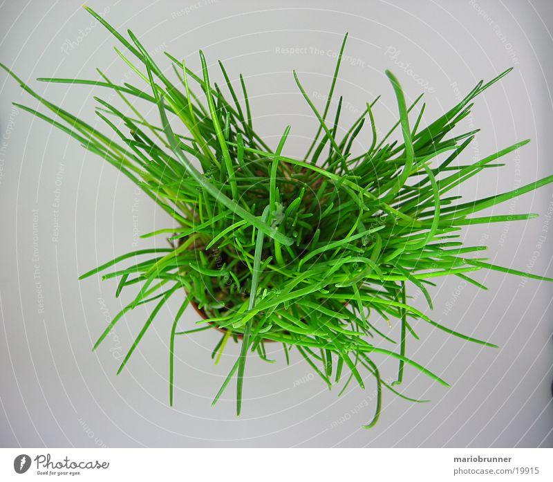 schnittlauch_02 grün Gesundheit Kräuter & Gewürze Topf Schnittlauch Porree