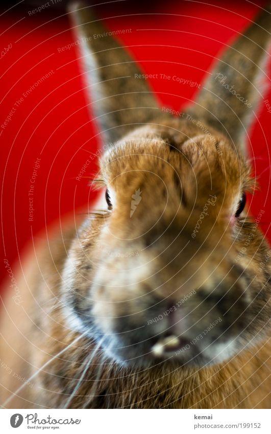 Knopfauge rot Tier Auge braun Kopf sitzen beobachten Kommunizieren niedlich Nase Ohr Fell Gebiss Tiergesicht Haustier Hase & Kaninchen