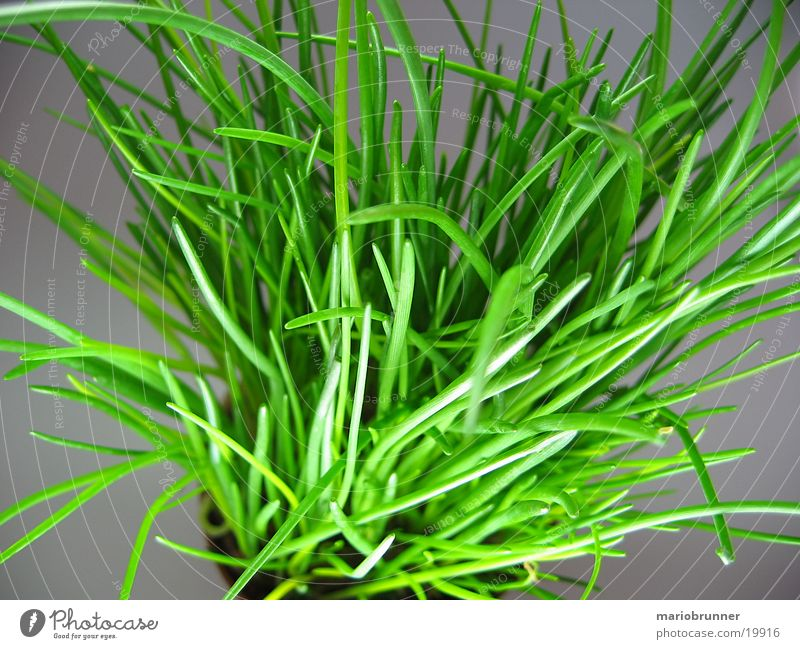 schnittlauch_03 Schnittlauch Kräuter & Gewürze Topf grün Gesundheit Porree