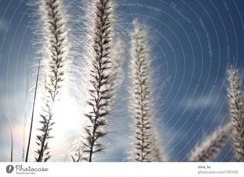 der sonne entgegen... Natur Pflanze Himmel Sonnenlicht Frühling Sommer Schönes Wetter Gras Grünpflanze Wiese Feld ruhig beweglich Leben Neugier