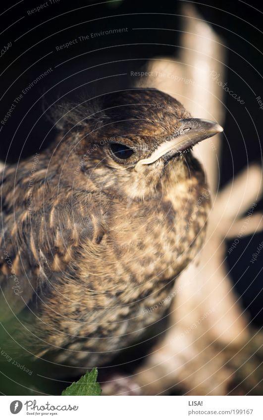 heiner Umwelt Natur Pflanze Tier Sonne Schönes Wetter Sträucher Grünpflanze Garten Wildtier Vogel Tiergesicht Flügel Amsel Amseljunges Feder 1 Tierjunges