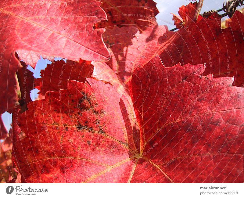 red_wine Weinblatt Weinberg Blatt rot Herbst