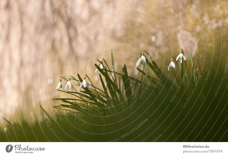 Schneeglöckchen vor Beton Umwelt Natur Frühling Blume Gras Wildpflanze Blühend Wachstum außergewöhnlich grau grün Farbfoto Gedeckte Farben Außenaufnahme
