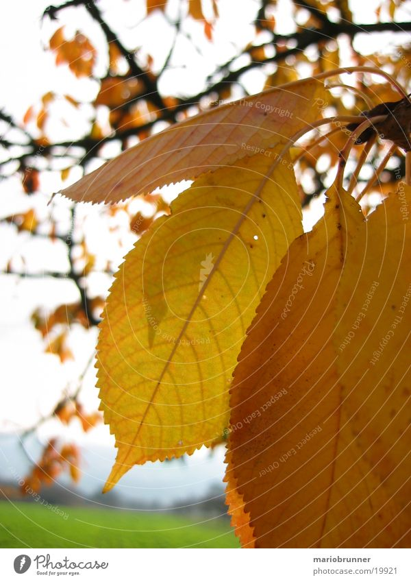 herbst_01 Blatt gelb Herbst fallen Baum welk herbstlich Kirschbaum