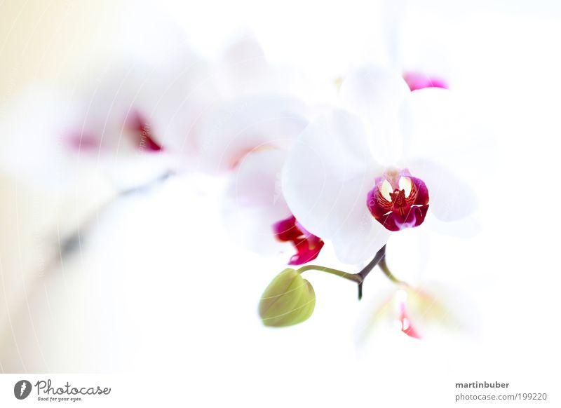 Orchidee Phalaenopsis Hybride weiß schön Pflanze Blume Blüte Hintergrundbild elegant frisch ästhetisch weich violett Blühend Leichtigkeit edel Gegenlicht Orchidee