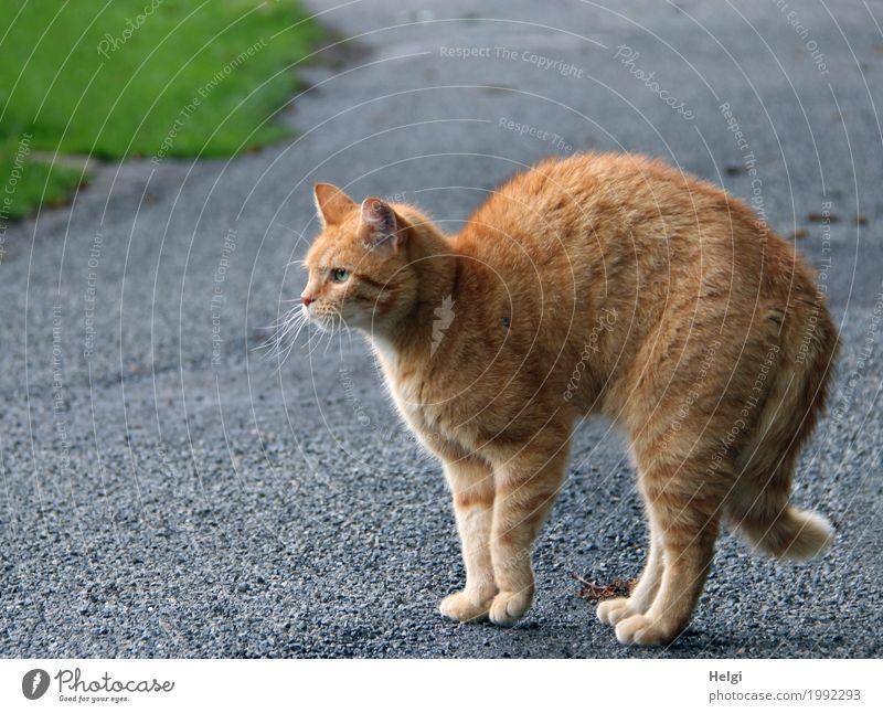 Komm mir nicht zu nah ... !!! Gras Wege & Pfade Tier Haustier Katze 1 Asphalt beobachten Blick stehen authentisch außergewöhnlich einzigartig braun grau grün
