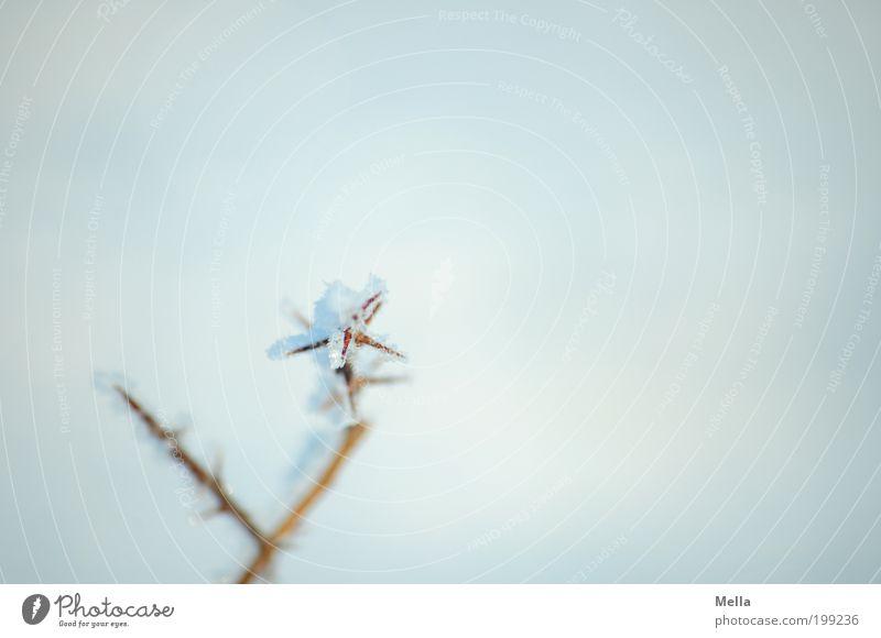 Kontrastprogramm Natur Pflanze Winter kalt Schnee grau Eis Umwelt Frost einfach Klima Ast frieren Dorn Licht