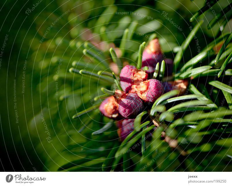 Nachschub Pflanze Baum Grünpflanze rund Spitze grün rot Makroaufnahme Nadelbaum Tanne Trieb Farbfoto mehrfarbig Außenaufnahme Detailaufnahme Textfreiraum links