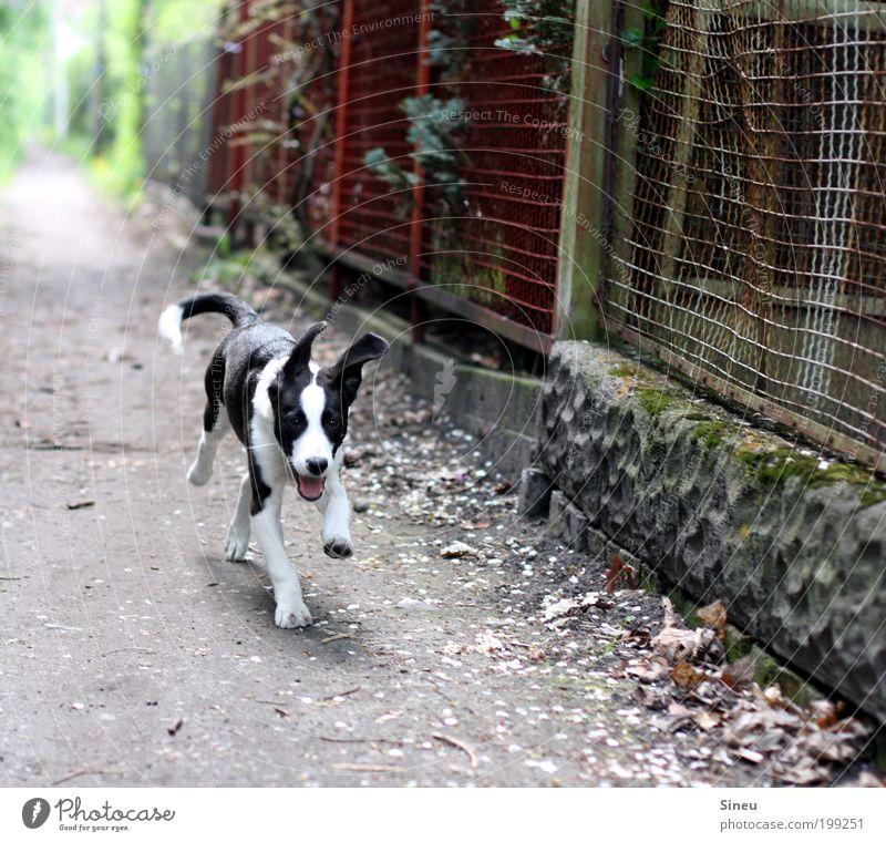 Run Forrest, run! Wege & Pfade Hund 1 Tier Tierjunges laufen Spielen frech Fröhlichkeit Glück schön lustig niedlich klug Geschwindigkeit schwarz weiß Freude