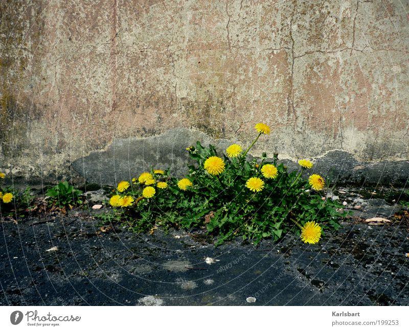 löwenzahn. Natur Pflanze Sommer Umwelt Straße Wand Lebensmittel Bewegung Wege & Pfade Mauer Stein Stil Fassade Design Häusliches Leben Lifestyle