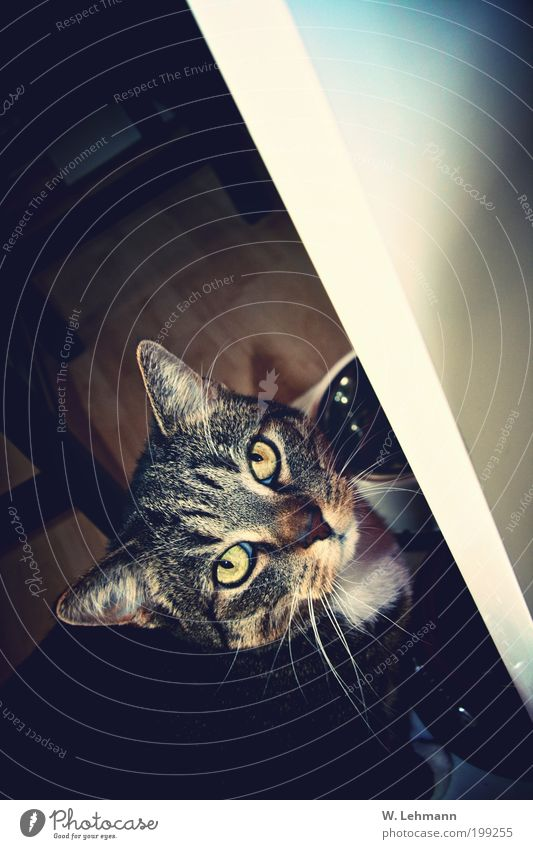 Der Kater hat auch ein Gesicht! Katze Tier außergewöhnlich elegant Behaarung authentisch Fisch Coolness Stuhl Fotokamera Fell genießen Tiergesicht Übergewicht