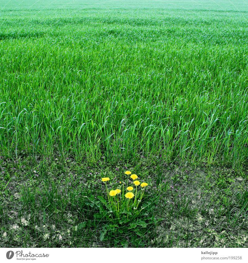 außenseiter Umwelt Natur Landschaft Pflanze Erde Grünpflanze Nutzpflanze Wildpflanze Wiese Feld Wachstum frisch gelb grün Ausdauer standhaft Kraft Löwenzahn