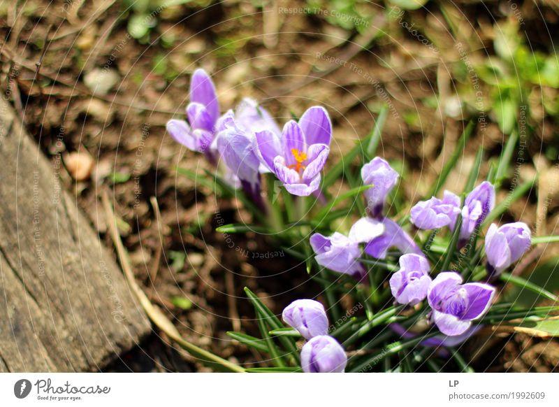 Frühlingsblumen in der Sonne Umwelt Natur Pflanze Urelemente Blume schön Lila Krokusse (Krokus) Design Grafik u. Illustration Hintergrundbild Bild Postkarte