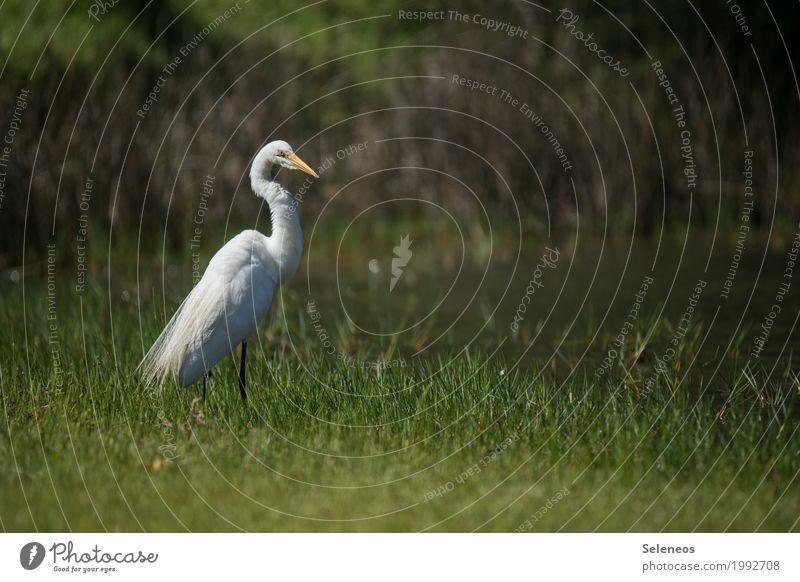 stolz Freiheit Umwelt Natur Gras Küste Seeufer Flussufer Bach Tier Wildtier Vogel Reiher 1 natürlich Ornithologie Farbfoto Außenaufnahme Menschenleer
