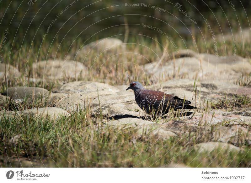 Guineataube Sommer Natur Garten Park Wiese Tier Wildtier Vogel Taube 1 frei natürlich Birding Vogelbeobachtung Farbfoto Außenaufnahme Menschenleer