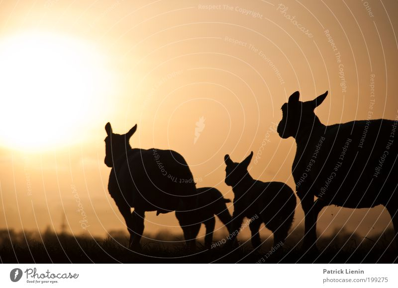 battle for the sun Sonne Tier Umwelt Wiese Wärme Angst rennen Tiergruppe Ohr Schaf Dynamik Flucht Panik Herde Nutztier Eile
