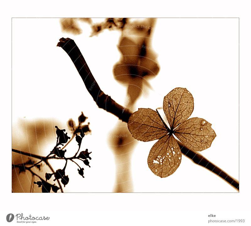 vergangenes Pflanze Holunderbusch Holz Geäst Blume Natur