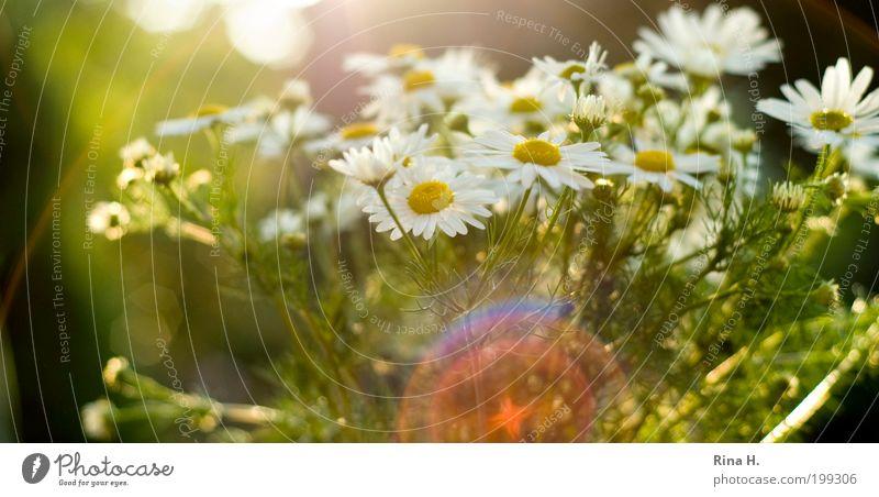 SommerReflektionen Natur weiß grün schön Pflanze Sonne Sommer Blume ruhig gelb Glück Stimmung Zufriedenheit natürlich authentisch einzigartig