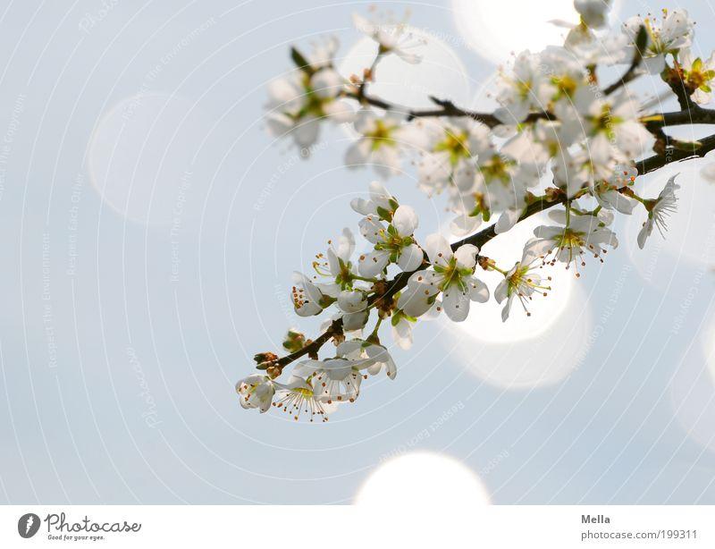 Japanese Dreams Umwelt Natur Pflanze Frühling Baum Blüte Ast Kirschbaum Kirschblüten Blühend glänzend Wachstum frisch hell natürlich blau Stimmung