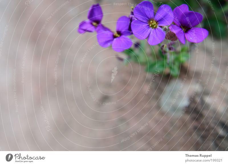 Lila Blümchen Natur Blume grün Pflanze Blüte Frühling Garten Stein violett Grünpflanze Schwache Tiefenschärfe