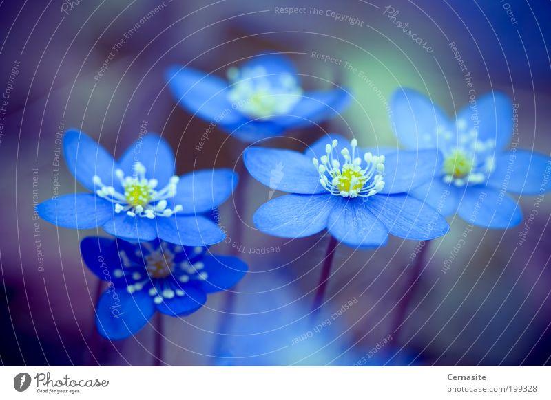 Natur blau schön Blume dunkel Wiese Gefühle Frühling Garten Stimmung außergewöhnlich authentisch ästhetisch Europa Coolness weich