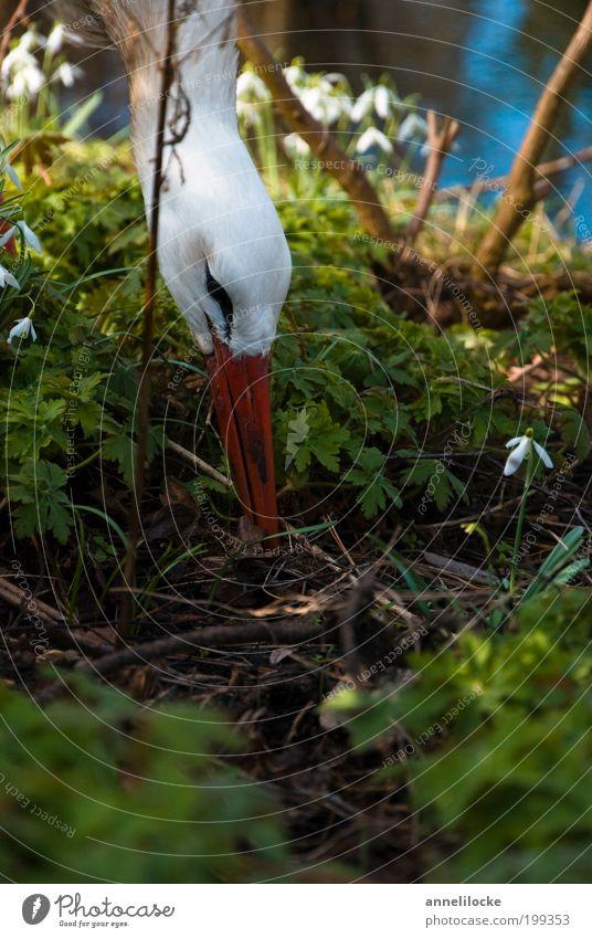 Storchennest Umwelt Natur Pflanze Tier Frühling Schönes Wetter Sträucher Wildpflanze Schneeglöckchen Unterholz Garten Park Wildtier Vogel Weißstorch Schnabel 1