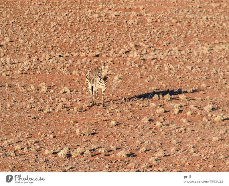zebra in Namibia Safari Landschaft Tier Sand Gras Wüste Wildtier Pferd trocken Zebra Savanne Afrika sonnig Beleuchtung Lebensraum gestreift Tarnung getrocknet