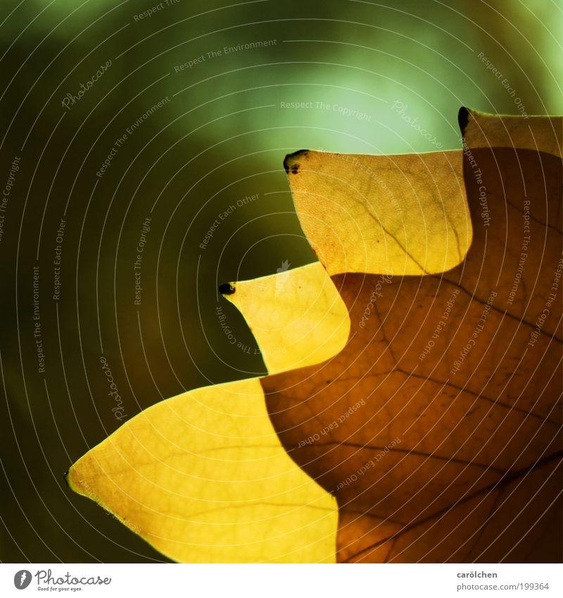 Strukturblatt Natur Sonnenlicht Herbst Schönes Wetter Blatt Park dünn gelb grün überlagert tranzparent durchsichtig durchscheinend Herbstlaub Herbstfärbung