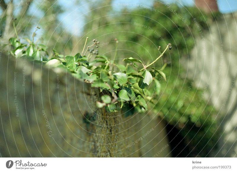 aufwärts Natur Pflanze Frühling Sommer Schönes Wetter Efeu Blatt Grünpflanze Wildpflanze Garten Wachstum ästhetisch Frühlingsgefühle schön authentisch Mauer