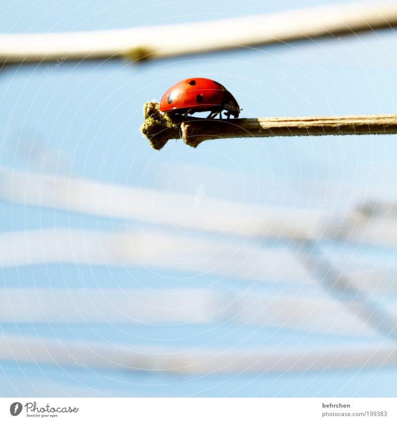 aufn strich gehen... Himmel rot Pflanze Tier Zufriedenheit Hoffnung Ast Punkt Insekt Mut Gleichgewicht Käfer krabbeln Marienkäfer Vorsicht achtsam
