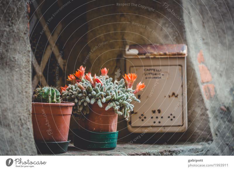 Urban Gardening Natur Stadt Blume Fenster Fassade Italien Altstadt Duft trashig Briefkasten Blumentopf Kaktus Balkonpflanze