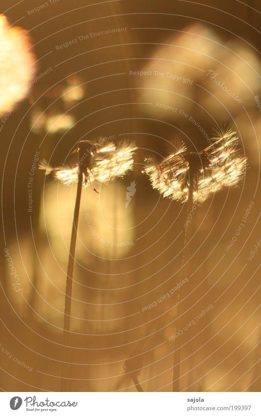 pusteblumen in warmes licht getaucht Natur Blume Pflanze Freude Wiese Gras Glück Wärme Zufriedenheit braun Umwelt gold Fröhlichkeit ästhetisch stehen zart
