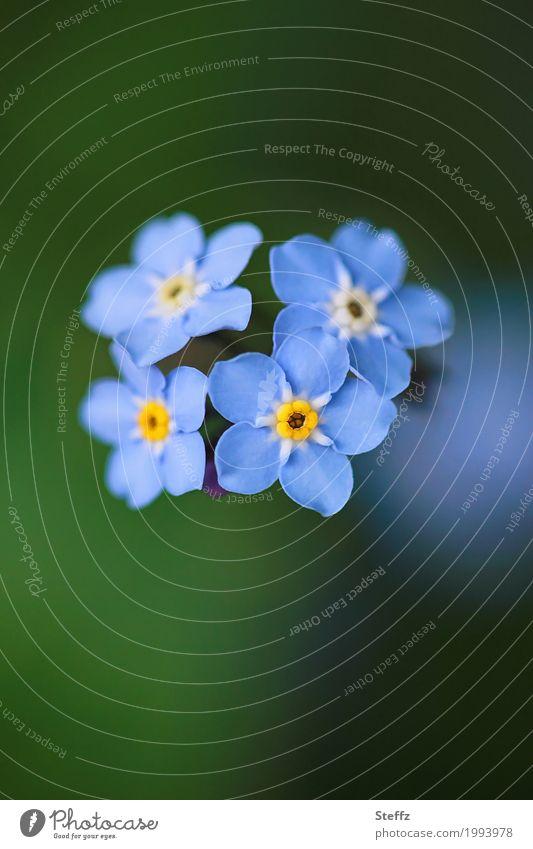 Vergissmeinnicht blüht romantisch im Frühling Myosotis Frühlingsblumen Vergißmeinnicht kleine Blüten blühende Frühlingsblumen vier Blumen Blütezeit blaue Blüten